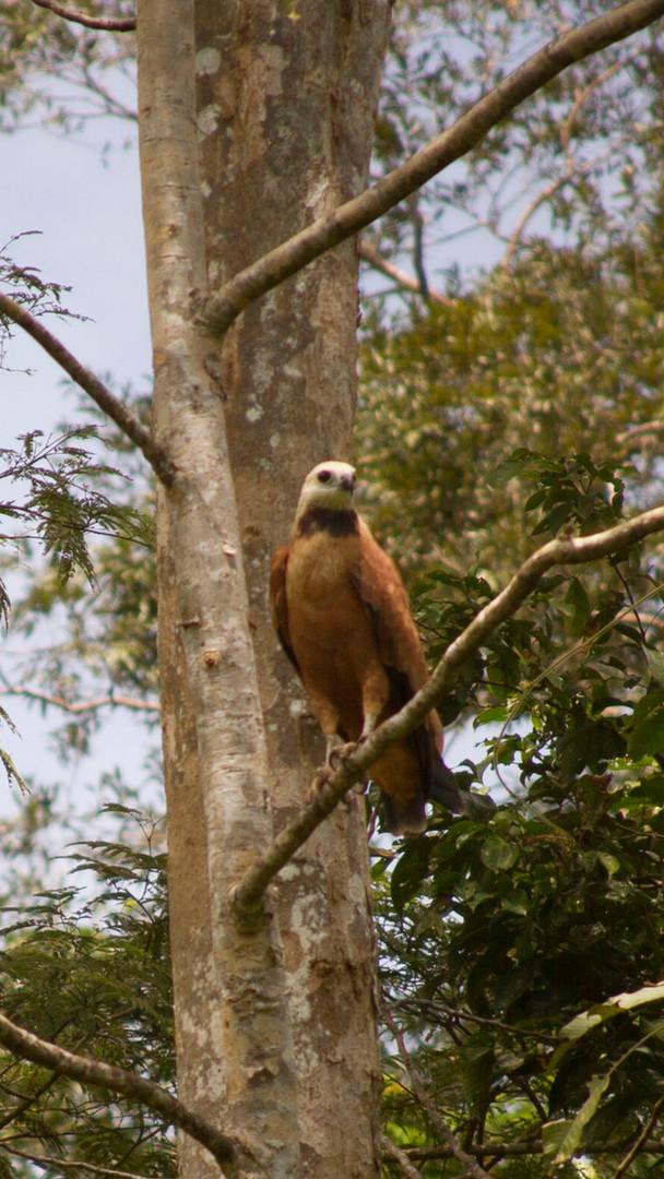 Falcon Amazon Tourism