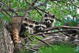 Еноты, живущие в дикой природе- наши частые гости