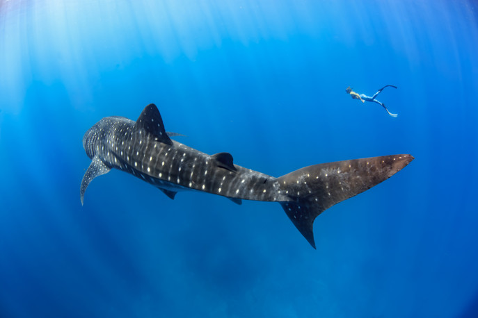 Freediver with whale sharks