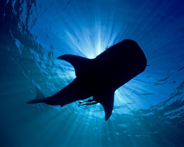 Whale Shark Silhoutte
