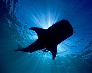 Whale Shark Silhoutte.jpg