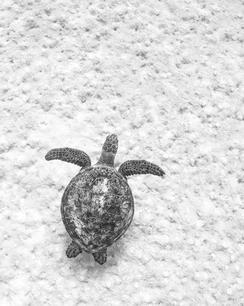 Simplicity Turtle