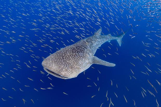Whale Shark in Baitfish