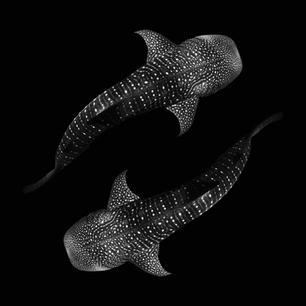Yin Yang Whale Sharks