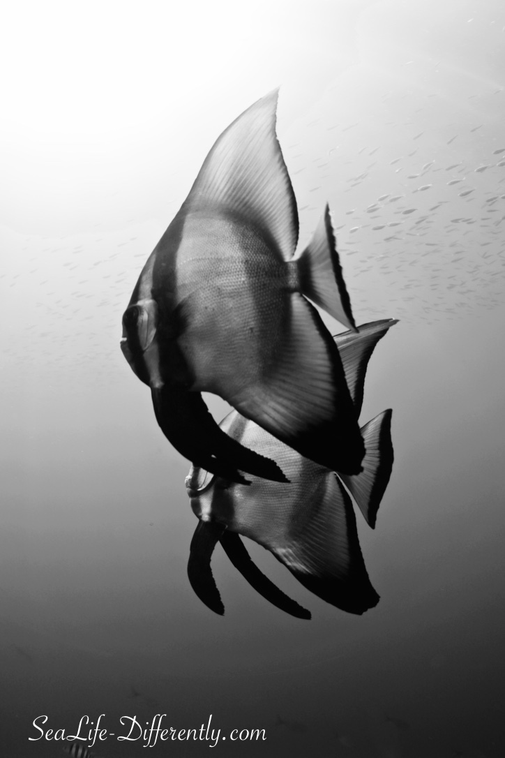 Bat fish in Black & white