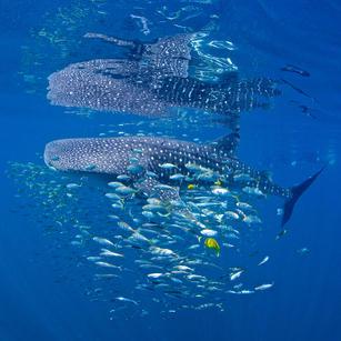 Whale Shark & friends