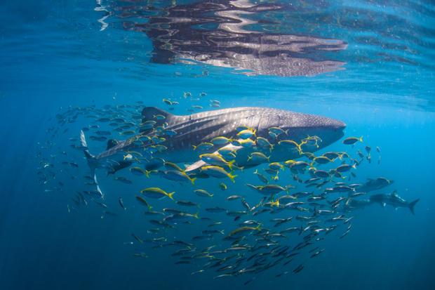 Whale Shark & friends II