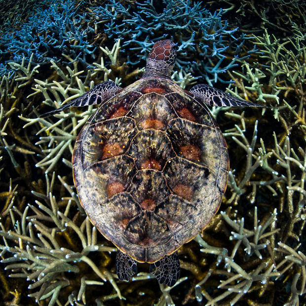Turtle & Coral