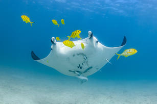Manta with Golden Trevally
