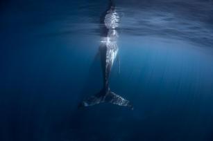 Sleeping Humpback Whale