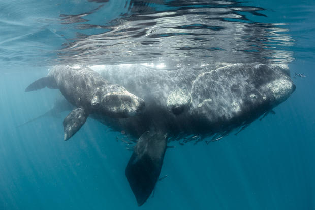 Southern Right Whale - Mum & Calf