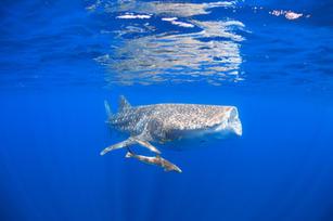 Hungry Whale Shark