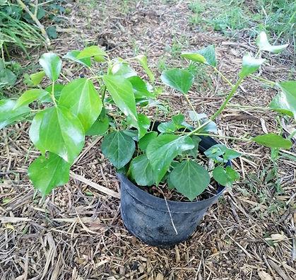 Liere arbustif Hedera helix 'arborecens'