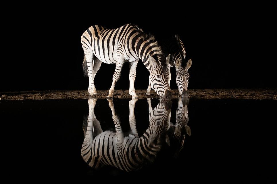 zebra drinking.jpg