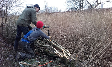 Hedge laying at Belmount Water Meadows