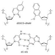 Dos nuevas bases para las cadenas de ADN: X e Y