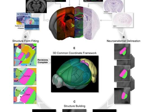 Finalizado el primer mapa tridimensional completo del cerebro del ratón