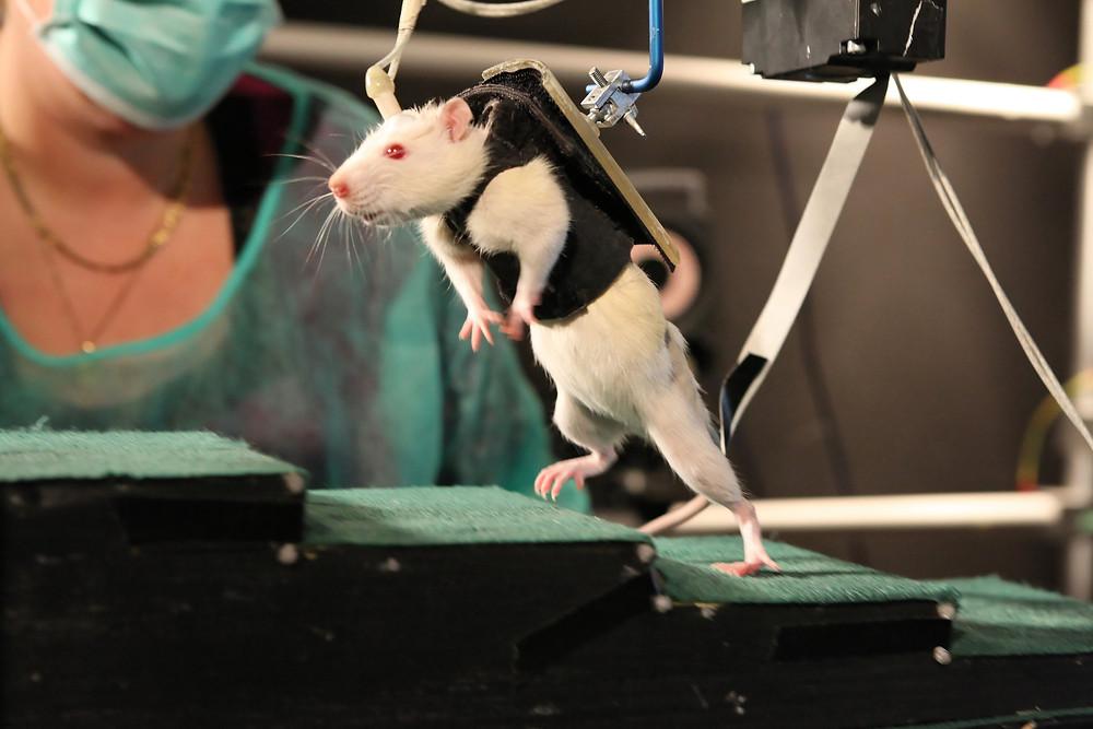 rata-paraplegica.jpg