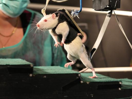 Consiguen que ratas parapléjicas vuelvan a andar