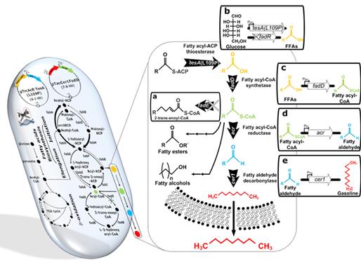 Consiguen sintetizar gasolina a partir de bacterias E. coli