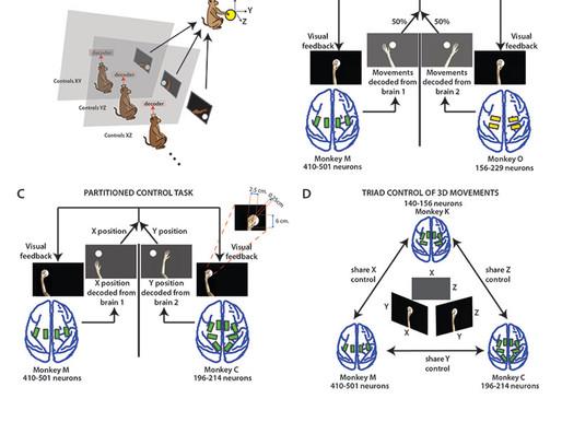 Científicos consiguen conectar en red los cerebros de monos y ratas
