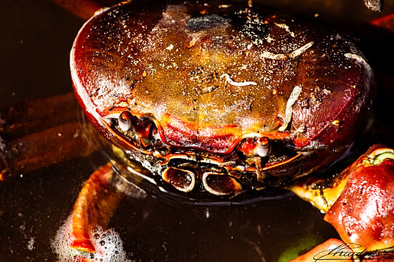Portrait of a Creole Crab