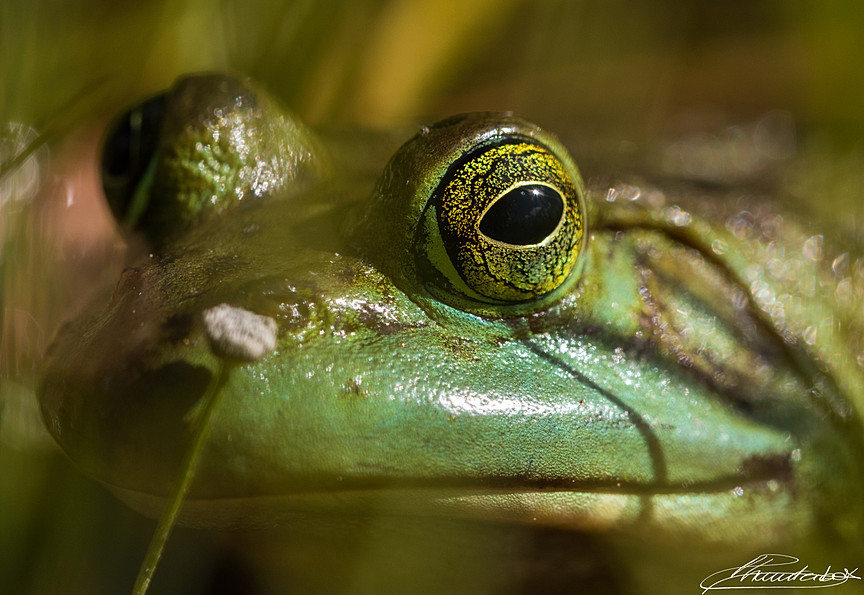 Portrait of a smiling frog