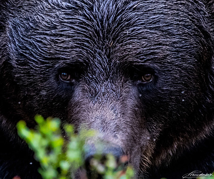 Close-up Portrait of a Black Finnish Bear