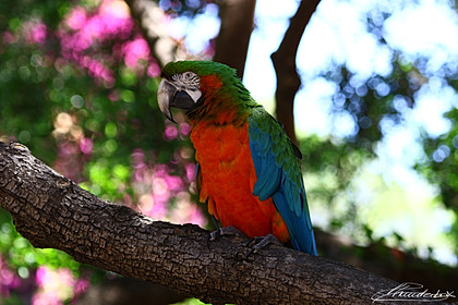 Portrait of an Italian Parrot