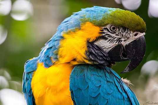 Portrait of a blue and yellow Ara Parrot