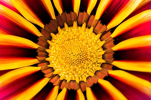 Portrait of a beautiful Gazania