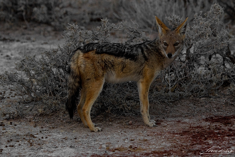 Portrait of a jackal