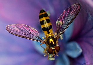 Portrait of a Mosquito-Bee
