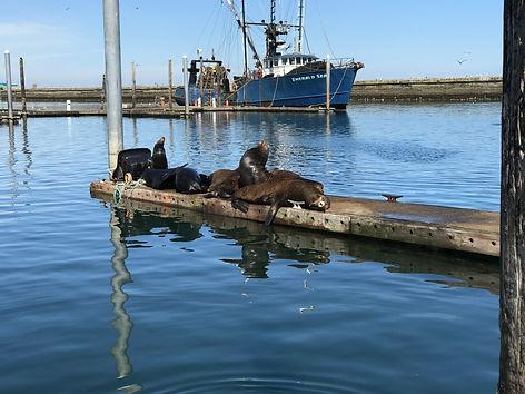 sea lions westport wa harbor