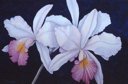pink and white cattleyas