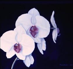 phalaenopsis II