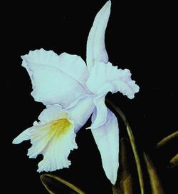 Bashful - white cattleya