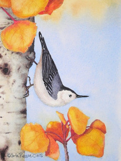 nuthatch on aspen