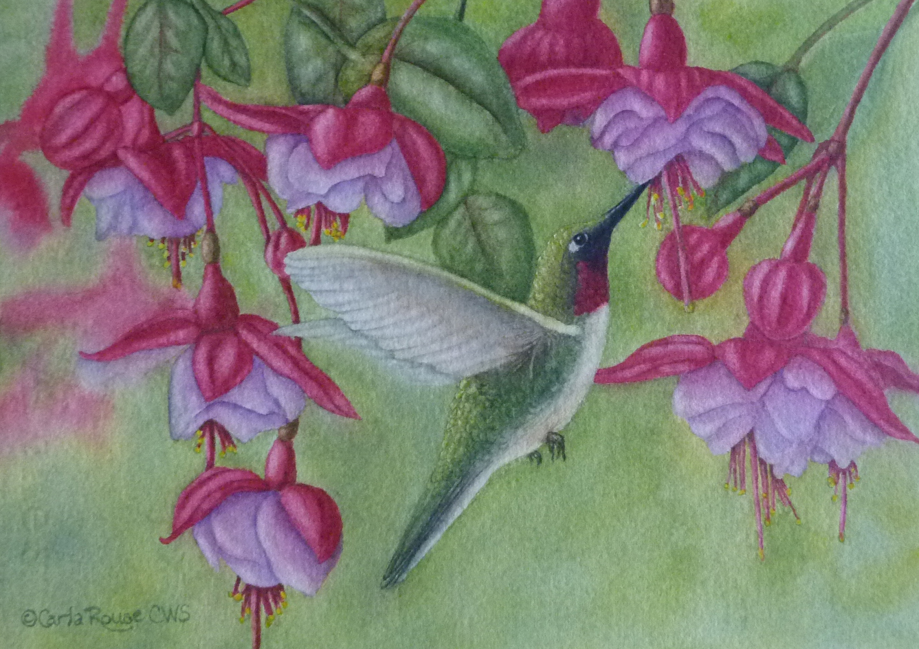 Broadtailed Hummers with Fuchsias