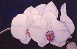 phalaenopsis I