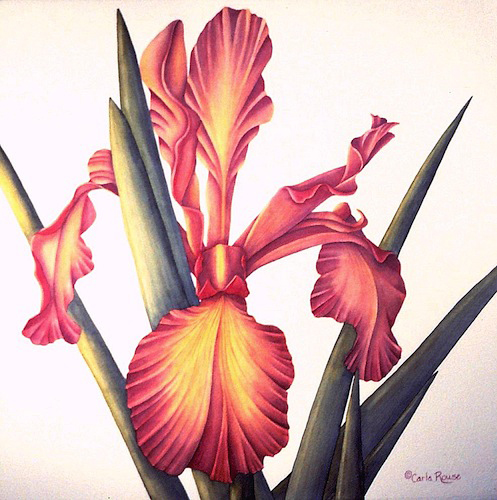 apricot iris