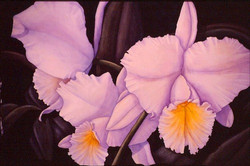 purple cattleyas