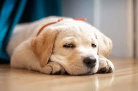 lab puppies.jpg