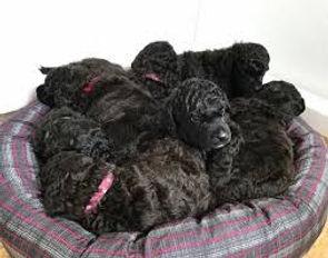Poodle puppies.jpg