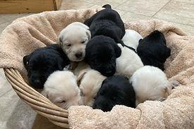 Basket of Labrador Retrievers 5-21.JPG