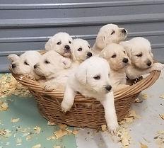 Labradoodles in basket 3 weeks.jpg