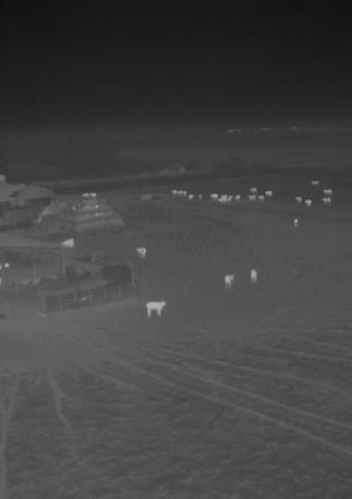 Badger survey in cattle field