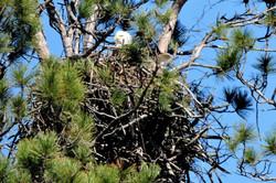 Washburn Eagle by Laakso