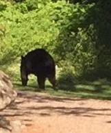 Bear sitings......