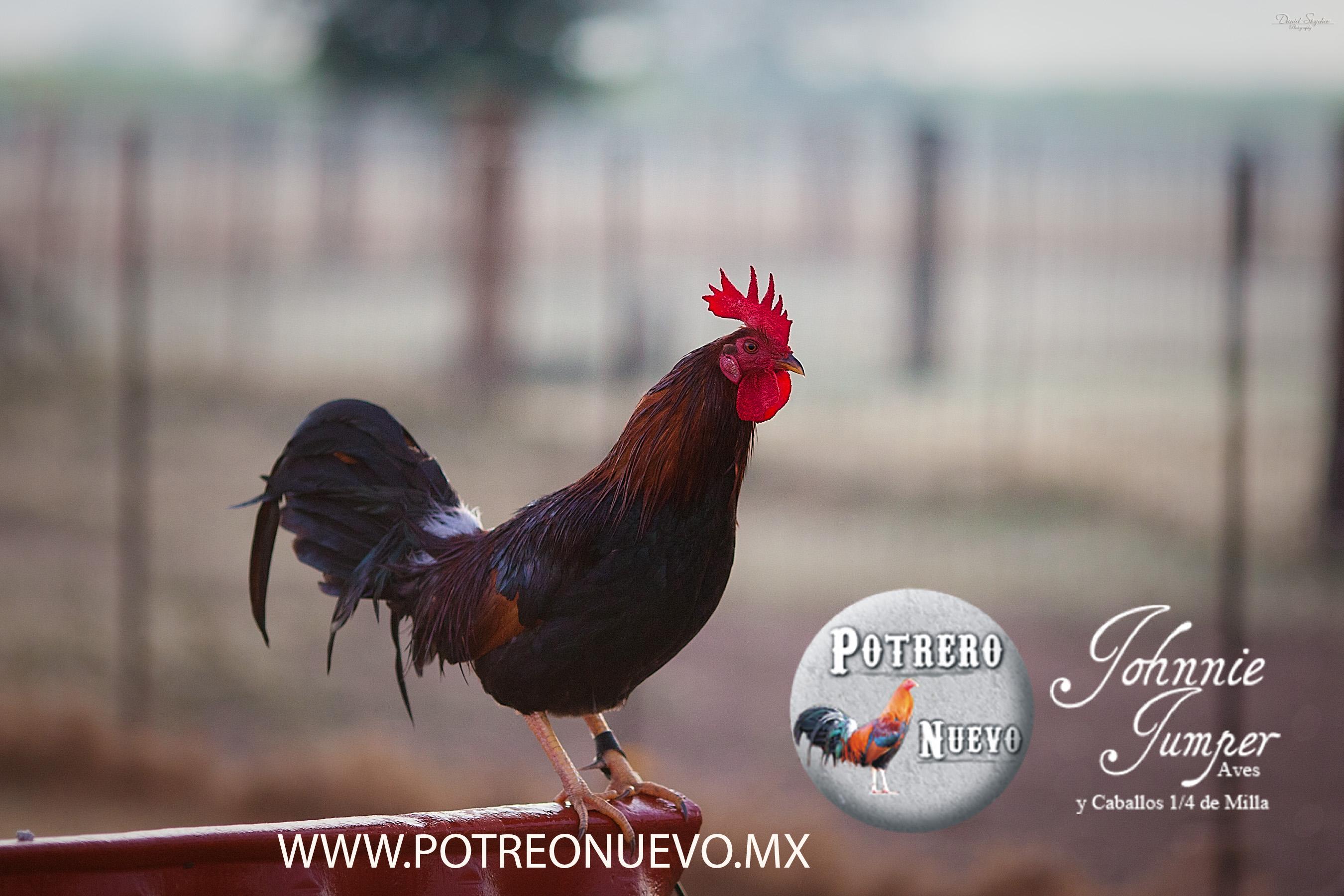 CRIADERO DE GALLOS POTRERO NUEVO1.jpg